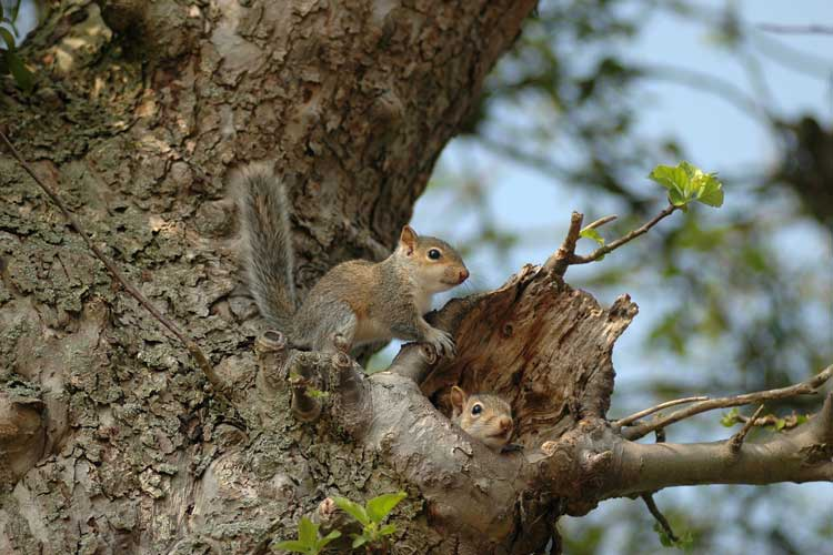 Squirrel Nest in tree